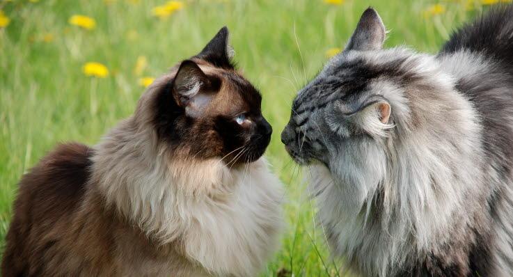 langhåret katteracer
