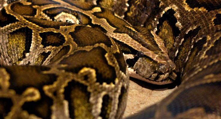 hvordan parrer slanger