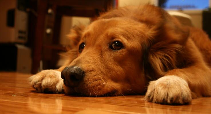 livmoderbetændelse hund pris