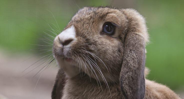 må kaniner få spinat