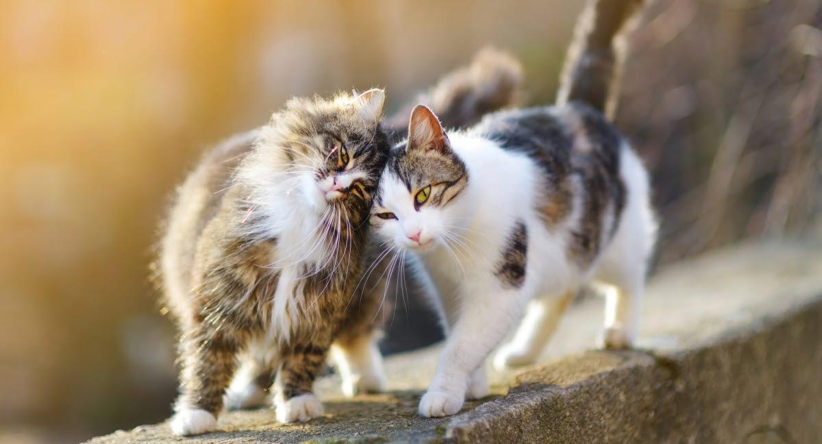 Hvor lang tid er en kat gravid