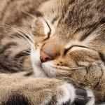 ringorm kat billede